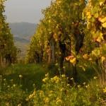 vignes Wolxheim