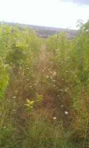 une vigne fin juillet